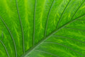 close up of big green leaf a close a with a very prominent structure Stock Image