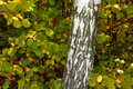 Close up of birch trunk in autumn forest. Royalty Free Stock Image