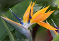 Close up of bird of paradise beautiful plant Stock Images