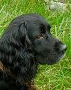 Close up of black springer spaniel head pose dog Stock Photo