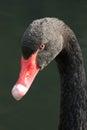 Close-up of black swan turning towards camera