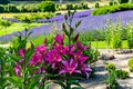 Flowers and flora from Wanaka New Zealand; Bloom of lily, Pink flower. Backdrop of lavender field. Royalty Free Stock Photo