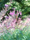 Close up of the blooming pink flowers of the willowherb growing wild in late summer against a blurred woodland green background Royalty Free Stock Photo