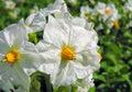 Close-up of blooming potato Stock Photos