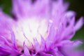 Close up of the blooming whitewash cornflower Royalty Free Stock Photo