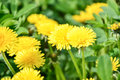 Close up of blooming yellow dandelion flowers Taraxacum officinale in garden on spring time. Detail of bright common dandelions Royalty Free Stock Photo