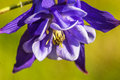 Close up of blue columbine (aquilegia) blossom growing on Aspen forest floor Royalty Free Stock Photo