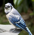 Close up of blue jay on a bird bath Stock Photography