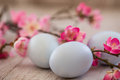 Close up of Blue Pastel Colored Easter Eggs and Cherry Blossoms Royalty Free Stock Photography