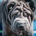 Close up of blue shar pei dog chinese shar pei the or is a breed known for its distinctive features deep Royalty Free Stock Image