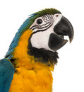 Close up of a blue and yellow macaw weeks old isloated on w white Stock Photography