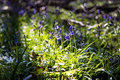 Close up of bluebells in tranendal teardrop valley in hallerbos wood belgium Stock Images