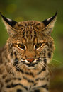Close Up of a Bobcat Royalty Free Stock Photography