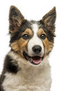Close up of a border collie panting isolated on white Royalty Free Stock Photo