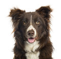 Close up of a border collie panting months old isolated on white Royalty Free Stock Photo
