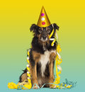 Close-up of a Border collie with party hat and streamers Royalty Free Stock Photo