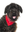 Close up of a bouvier des flandres panting with read bandana isolated on white Stock Images