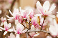 Close up of a branch with flowers magnolia tree Royalty Free Stock Image