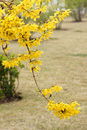 The close up of branch of forsythia flower Royalty Free Stock Photos