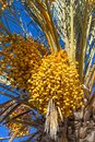 Branches of dates palm with fresh dates on it Royalty Free Stock Photo