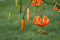 Close up of bright orange tiger lily flowers and buds Royalty Free Stock Photo