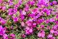 Closeup of bright pink bougainvillea blossoms as a background Royalty Free Stock Photo