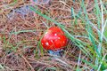 Close up of bright red Fly Agaric mushroom Royalty Free Stock Photo