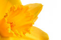 Close up bright yellow daffodil Royalty Free Stock Photography