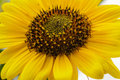 Close Up Of Bright Yellow Sunf...