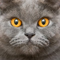 Close-up British Cat Royalty Free Stock Photo