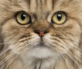 Close up of a british longhair facing Royalty Free Stock Images