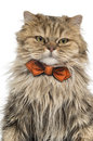 Close up of a british longhair witha bow tie isolated on white Royalty Free Stock Images