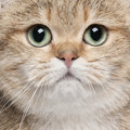 Close-up of British Shorthair cat Stock Photo