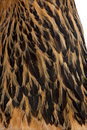 Close-up of Brown Brahma Hen feathers Stock Images