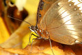 Close up brown butterfly in garden thailand Royalty Free Stock Images