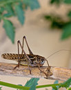 Close up of a brown cricket Royalty Free Stock Photos
