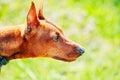 Close up brown dog miniature pinscher head red zwergpinscher min pin over green grass background Royalty Free Stock Photography