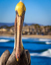 Close-up of brown pelican Royalty Free Stock Photo