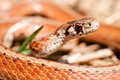 A close up of a brown snake in early spring Stock Image