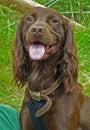 Close up of brown springer spaniel three quarter pose dog Stock Photography