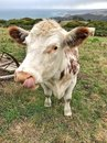 Cow standing in paddock with its tongue out Royalty Free Stock Photo
