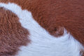 Close up Brown and white cowhide Royalty Free Stock Photo