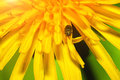 Close up of a bug on dandelion flower Royalty Free Stock Photo