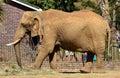 Close Up of Bull Elephant Feeding on Hay Royalty Free Stock Photo