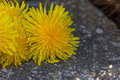 Close up bunch of dandelions Royalty Free Stock Photo