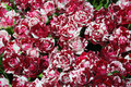 Close up of bunch of freshly cut beautiful striped roses burgundy Royalty Free Stock Photos