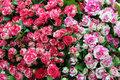 Close up of bunch of freshly cut striped roses beautiful red and pink Stock Photography