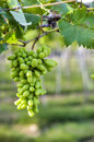 Close up of a bunch of grapes on grapevine in vineyard Royalty Free Stock Photography