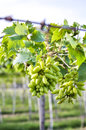 Close up of a bunch of grapes on grapevine in vineyard Stock Images