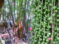 Bunch of Small Palm Seeds Hanging on Palm Tree with Selective Focus Royalty Free Stock Photo